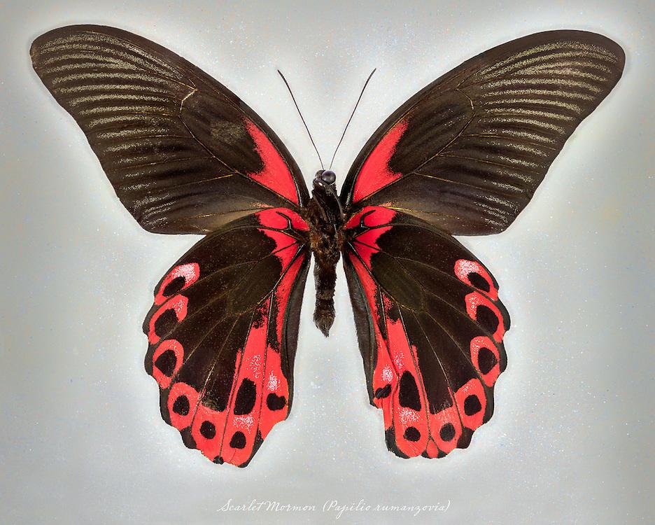 Scarlet Mormon (Papilio rumanzovia) underside / #LPD198b