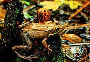 Bronze Frog (Rana clamitans clamitans).on cypress knee after rain - Mississippi