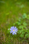 Blue daisy flower growing in wild border in springtime in Swinbrook in the Cotswolds, Oxfordshire, UK..