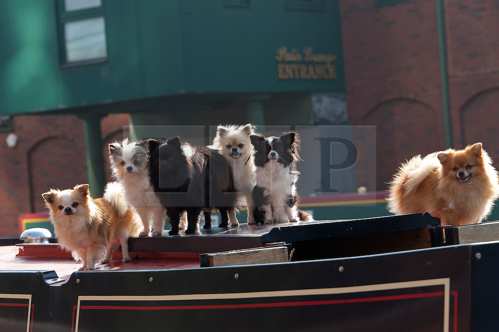 © Licensed to London News Pictures. 14/09/2016. Birmingham, West Midlands,  UK. Jill & Peter Jaggers, who live on their boat Senior Moment on the Wyrley and Essington canal, visit Birmingham and take their dogs, a mixture of Long Coated Chihuahuas and Pomeranian for a spin on the Birmingham canal system. Jills says their are normally nine dogs aboard, and their is a litter of seven puppies below decks. Photo credit: Graham M. Lawrence/LNP