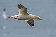 Northern Gannet - Morus bassanus soaring on the wind