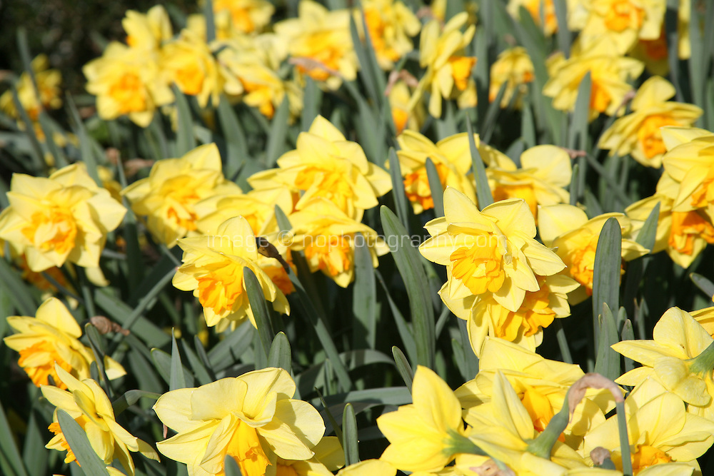 Daffodil flowers in spring