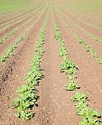 Lines of potato crop growing up a hillside, Bures, Essex, England