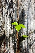 Young sapling grows up ancient tree trunk in the Everglades, Florida, USA