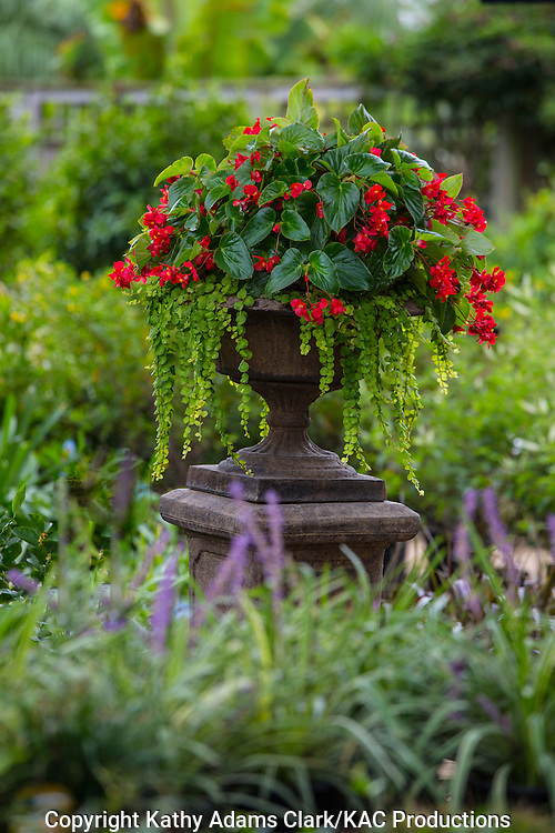 Container garden, begonia, Garden, begonia, Houston, late summer, Texas.