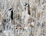 A pair of geese hiding out barely visible looking for a place to nest.