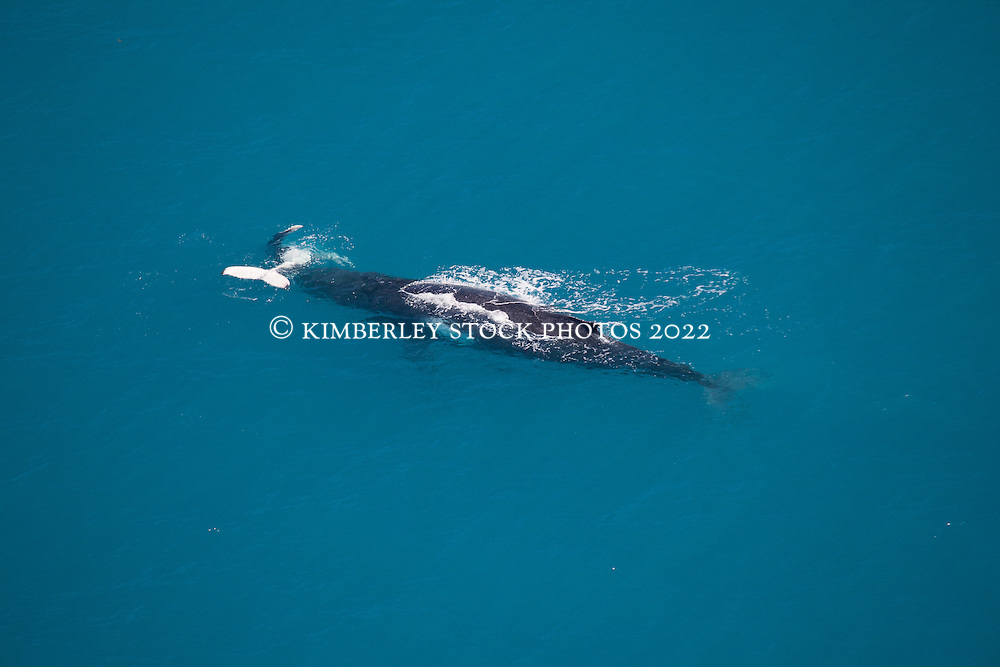 A humpback whale supports her calf as they rest off Willie Creek north of Broome