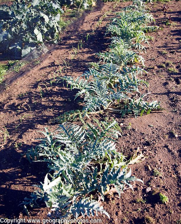 Artichoke plants growing in winter allotment gardens, Shottisham, Suffolk, England