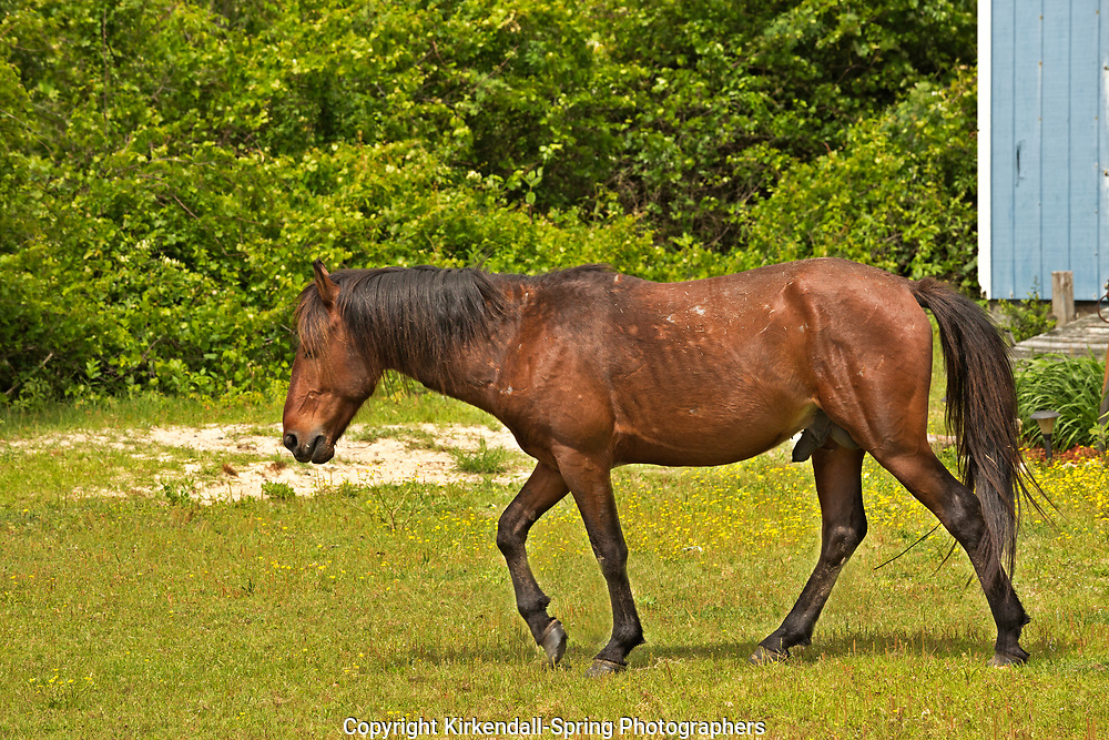 NC01415-00...NORTH CAROLINA - One of the semi-wild Banker horses walking through an issolated beach side community on the Outer Banks, north of Corrola.
