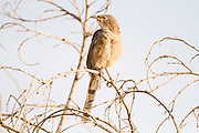 Arabian babbler on a branch. Arabian babblers (Turdoides squamiceps) are found throughout much of the Arabian peninsula and Middle-east. They inhabit arid scrubland and savannah, and have a very varied diet that includes insects, small vertebrates, leaves, berries and seeds. Photographed in the Negev desert, Israel, in September.