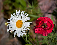 Daisy and Red Poppy. Image taken with a Leica TL-2 camera and 55-135 mm lens