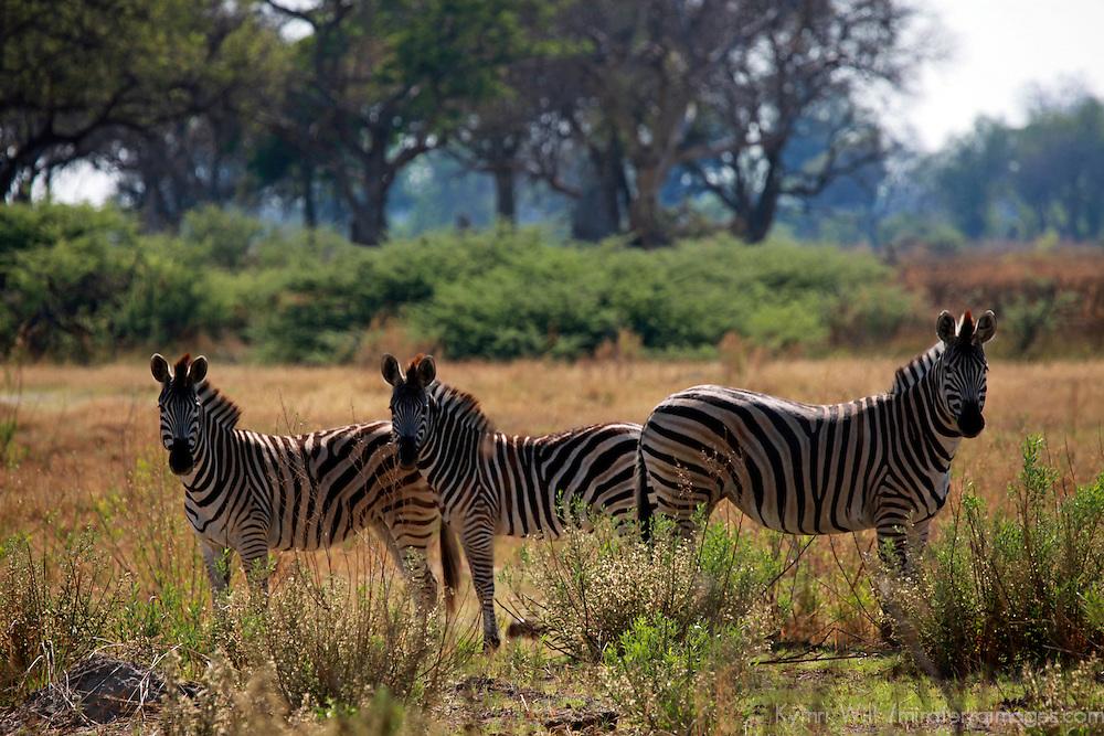 Africa, Botswana, Okavango Delta. Burchell's Zebra.