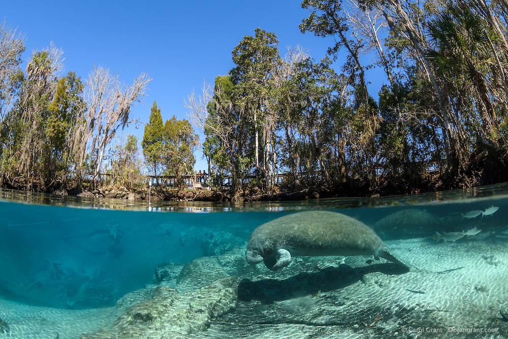 "A Florida manatee rests in the warm spring water enhanced by direct sunshine near Big Sister Spring. It is the middle of the winter season when manatees come to the freshwater springs to stay warm. To the far left underwater markers are set to delineate manatee only resting areas. The public boardwalk that recently opened, invites land visitors to observe manatees while staying warm and dry. As of 2015 the boardwalk is operated by the City of Crystal River but is still part of the Crystal River National Wildlife Refuge, Kings Bay, Crystal River, Citrus County, Florida USA. Florida manatee, Trichechus manatus latirostris, a subspecies of the West Indian manatee, IUCN Endangered but proposed downlisting to Threatened by USFWS for 2017: http://www.iucnredlist.org/details/22106/0. Nikon d7200 1/125 f13 Tokina 10-17 at 10mm ISO 320 Subal Underwater Housing, Subal 8"" dome port, natural light. Post-processing is normal listed actions that are not ""beyond""."