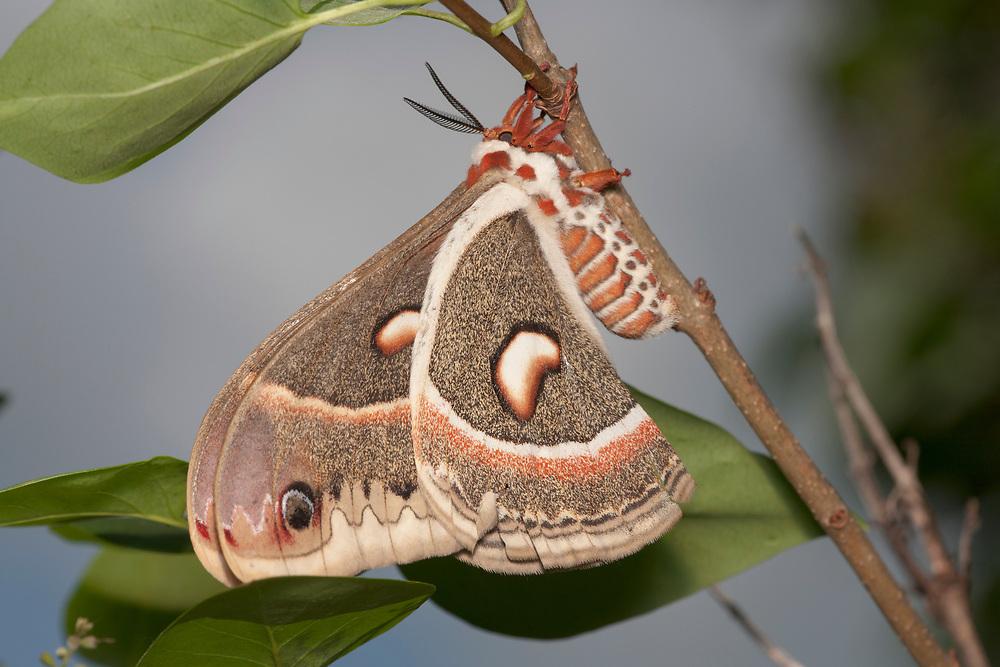 Female Cecropia moth (Hyalophora cecropia) on Lilac branch