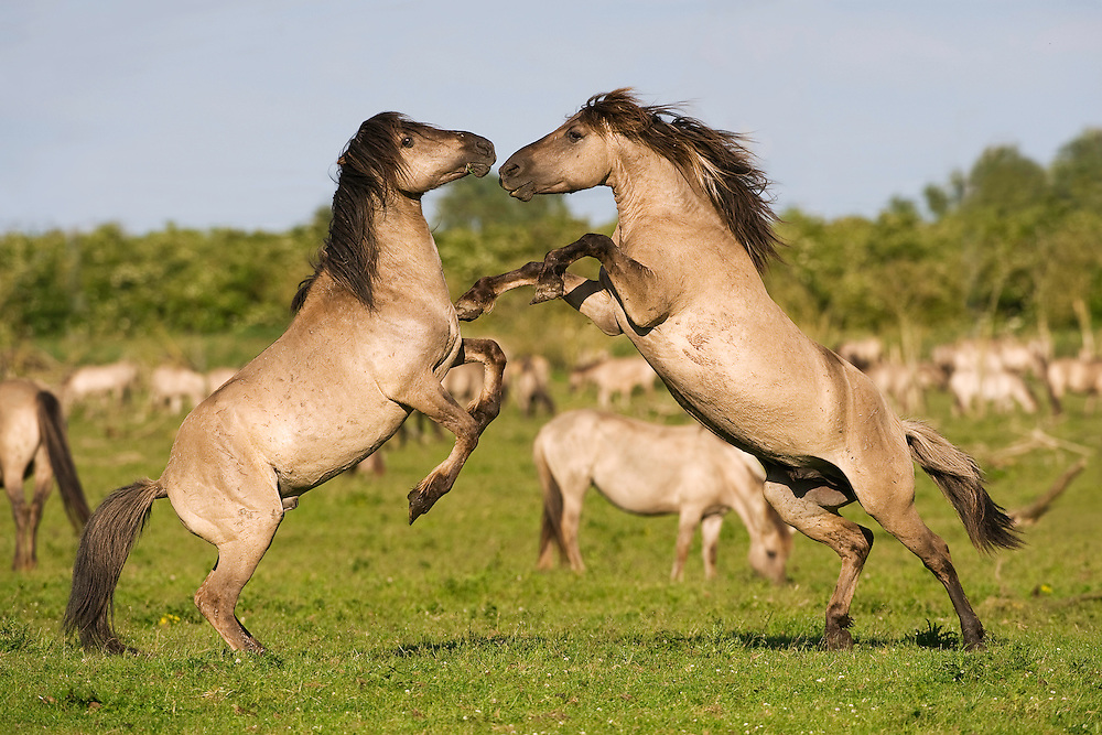Konik horse, stallions fighting during breeding season. Oostvaardersplassen, Netherlands. Mission: Oostervaardersplassen, Netherlands, June 2009