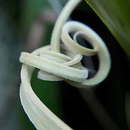 During the cold, grey winter months here in the Northwest, I like to shoot images at the Conservatory. This tendril was in the bromeliad and epiphyte area. Now you know.