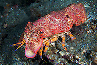 Profile of a Blunt Slipper Lobster<br /> <br /> Shot in Indonesia
