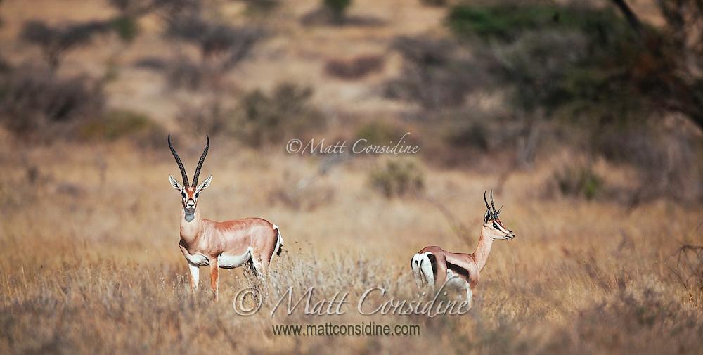 Alert Thompson's gazelles standing on the dry grassland savanna, Kenya, Africa (photo by Wildlife Photographer Matt Considine)