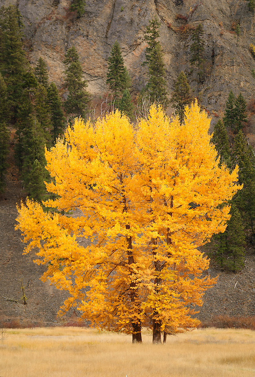 Cottonwood trees in Fall color; on ranch in Sanpoil River valley along Highway 21 south of Republic; Washington.