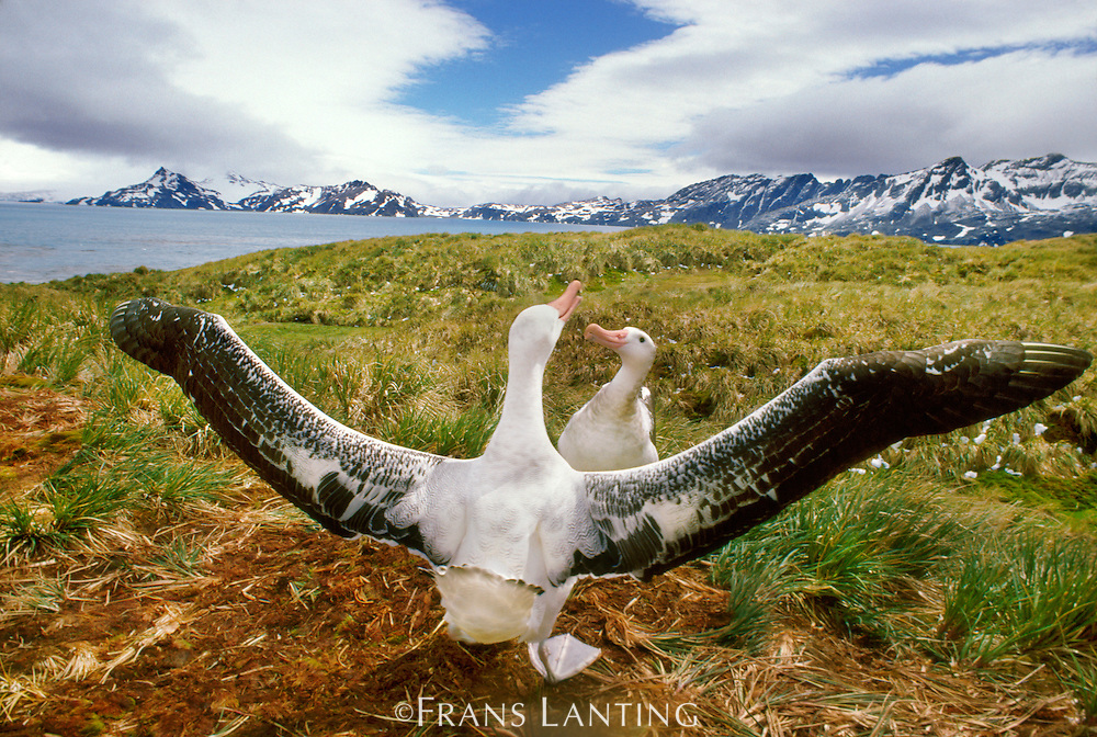 Wandering albatrosses courting, Diomedea exulans, South Georgia Island
