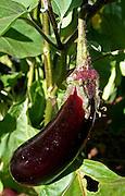 aubergine growing in garden