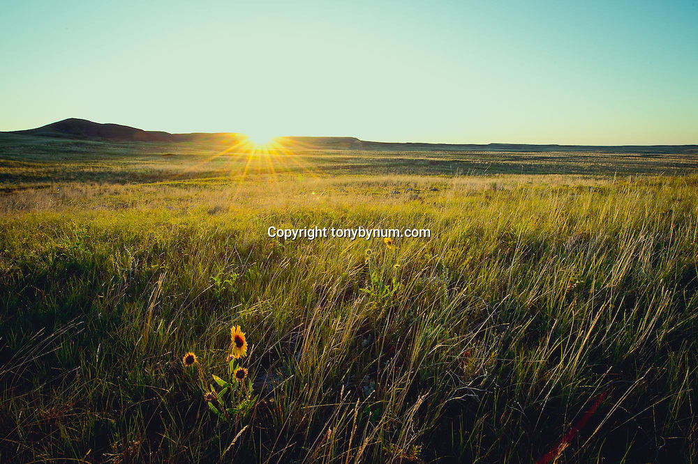 frenchman creek area montana, sunrise and prairie flowers