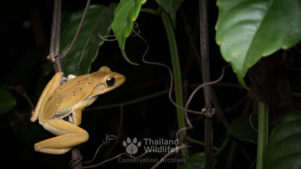 Common tree frog (Polypedates leucomystax) (in situ) in Chumphon, Thailand