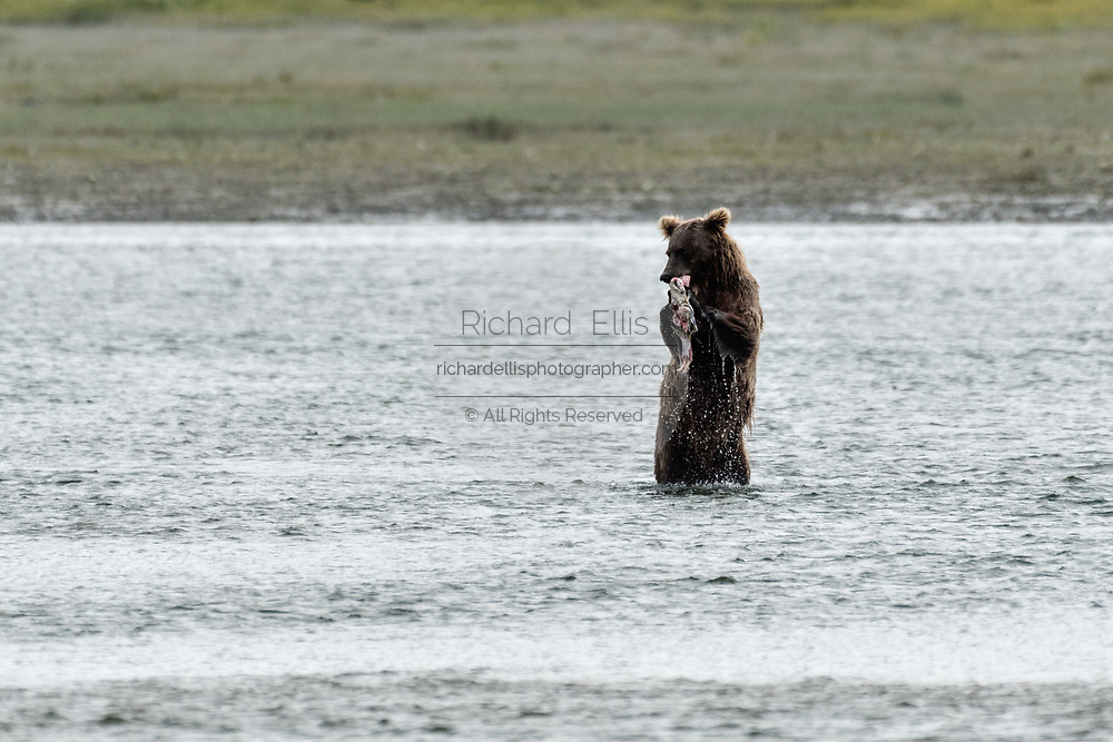 A grizzly bear boar stands up as it eats chum salmon in the lower lagoon at the McNeil River State Game Sanctuary on the Kenai Peninsula, Alaska. The remote site is accessed only with a special permit and is the world's largest seasonal population of brown bears.