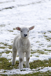 July 21, 2019 - Lamb In Snow (Credit Image: © John Short/Design Pics via ZUMA Wire)