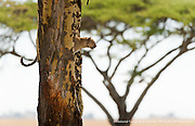 An African leopard gazes out on the plains of the Serengeti National Park in Tanzania.