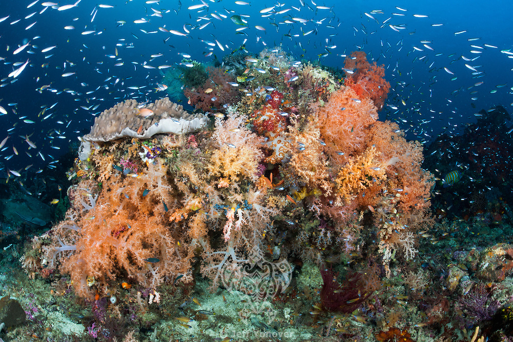 Schooling Fusiliers and Colorful Soft Corals<br /> <br /> Shot in Indonesia