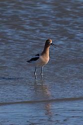 American Avocet (Recurvirostra americana), Coyote Point Recreation Area, San Mateo, California, United States of America