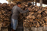 A worker piles roasted blue agave hearts in the mill at an artisanal Mezcal distillery November 5, 2014 in Matatlan, Mexico. Making Mezcal involves roasting the blue agave, crushing it and then fermenting the liquid.