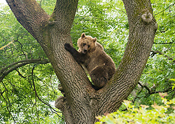 © Licensed to London News Pictures; 17/06/2020; Bristol, UK. **Embargoed until 00.01am Thursday June 18, 2020**. Wild Place Project. Picture shows bear climbing a tree. Four European brown bears and five grey wolves have begun living side by side together for the first time in a UK Zoo as it prepares to re-open tomorrow (Friday June 19) after coronavirus lockdown. The four bears and the five wolves were given access to the same woodland exhibit at Wild Place Project recently. After some initial curiosity and playful chasing, the two species were soon quietly sharing the same space beneath the trees of Bear Wood as they would have done in this country thousands of years ago. Wild Place Project is preparing to reopen after an 13-week closure due to the COVID-19 pandemic. Photo credit: Simon Chapman/LNP.