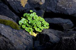 Flower  at Vatnsnes in Midfjodur, Iceland - Blóm  á Vatnsnesi í Miðfirði