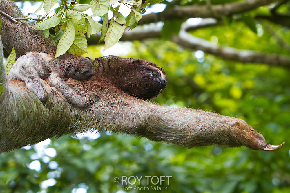 Three-toed sloth with new baby, arm extended, Osa Peninsula, Costa Rica