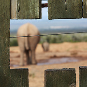 Elephants drinking, seen through a fence at Addo Elephant Park, South Africa.