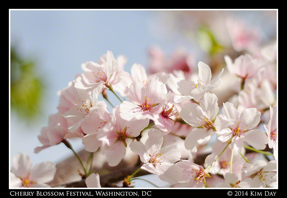 Pastel Cherry Blossoms<br /> Cherry Blossom Festival - Washington, DC<br /> April 13, 2014