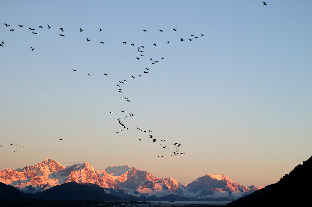 Hundreds of sandhill cranes (Grus canadensis) fly over the Fairweather Range (15,320') in a beautiful morning sky.