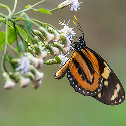 """Borboleta (Lepidoptera) fotografado em Burarama, distrito do município de Cachoeiro de Itapemirim, no Espírito Santo -  Sudeste do Brasil. Bioma Mata Atlântica. Registro feito em 2018.<br /> ⠀<br /> ⠀<br /> <br /> <br /> ENGLISH: Butterfly photographed in Burarama, a district of the Cachoeiro de Itapemirim County, in Espírito Santo - Southeast of Brazil. Atlantic Forest Biome. Picture made in 2018."""