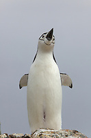 Chinstrap Penguin (Pygoscelis antarctica) on Useful Island, Gerlache Strait.