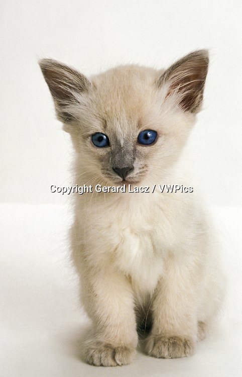 Balinese Domestic Cat, Kitten against White Background