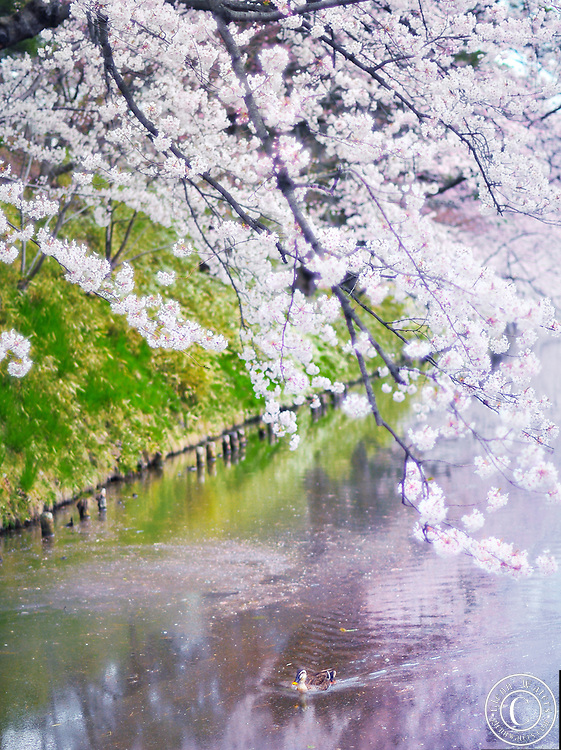 A wild duck enjoying spring time in the beautiful cherry blossom flanked moat of Hirosaki castle park, located in Northern Honshu, Japan. Over 3,000 cherry trees come into bloom from mid April to early May.