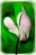 Digitally enhanced image blooming violets - Cyclamen persicum