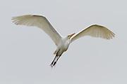 Great Egret, California