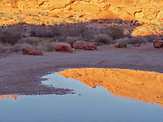 Late afternoon sunlight in the golden hour before sunset lends a glow to the sandstone rock formations at Valley of Fire State Park in the Mojave Desert, Nevada, USA. A golden orange boulder is reflected in the rainwater of a puddle near the Mouses Tank trailhead. Red rocks and desert vegetation are seen.