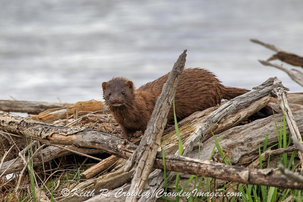 American Mink in riparian habitat,