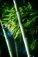 Beautiful closeup of green bamboo leaves and tall culms in dramatic morning light. Arashiyama, Kyoto, Japan.