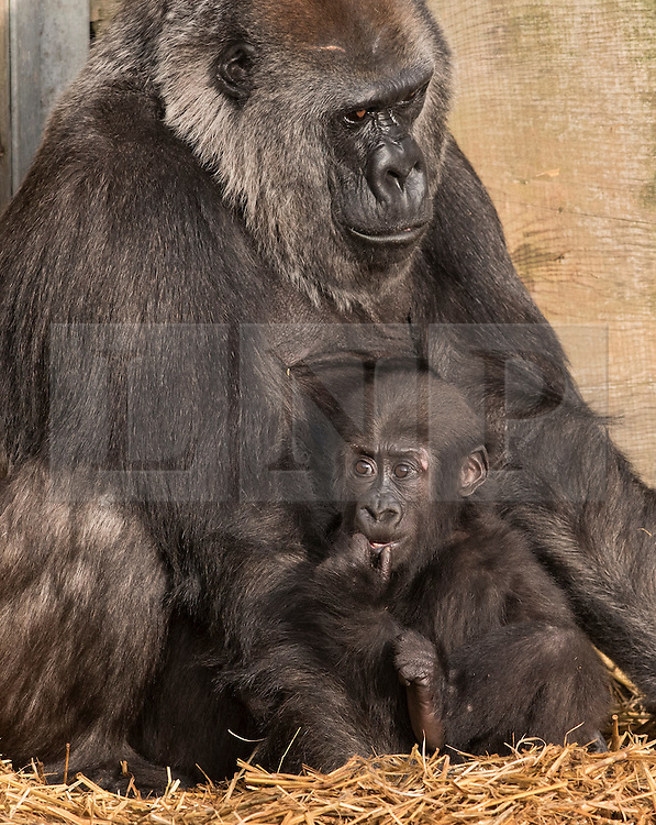 © Licensed to London News Pictures. 20/12/2016. Bristol, UK. ** EMABARGOED TILL 00.01am, WEDNESDAY 21 DECEMBER 2016 **. AFIA, a western lowland gorilla who is 10 months old with her surrogate mother gorilla Romina, now lives with the other gorillas at Bristol Zoo, after being born by caesarian section on 12 February this year. Keepers at Bristol Zoo have announced that their ëlittle miracleí Afia, the young Western lowland gorilla who has been hand-reared since birth, is now fully integrated with the gorilla troop. Itís been an eventful journey since the young primate was born 10 months ago by emergency caesarean section and fought for her life before being cared for by keepers to ensure her survival.<br />  In that time keepers have given more than 1,570 bottle feeds, changed nearly 1,400 nappies, given 112 piggy back rides, and spent countless sleepless nights caring for her round-the-clock. Now, having reached a huge milestone, Afia is no longer being cared for by keepers but is spending 24-hours a day with her new gorilla family. She can often be seen exploring her new home on Gorilla Island, or clinging onto her new, surrogate mother gorilla, Romina. Photo credit : Simon Chapman/LNP