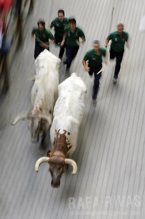 A group of shepherds steer a couple of bullocks during the fourth bull run of the San Fermin Festival, on July 10, 2012,  in the Northern Spanish city of Pamplona . PHOTO / Rafa Rivas